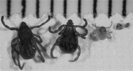 the relationship between spotted fever group rickettsiae and ixodid ticks