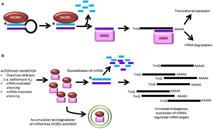 how to find mirna target genes