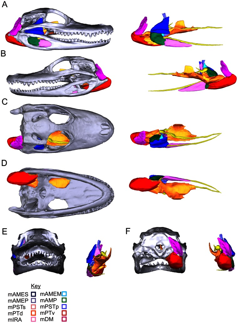 Individual jaw muscles and their attachments in Alligator ...