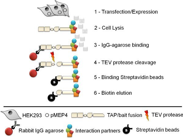 Interaction proteomics: characterization of protein complexes ...